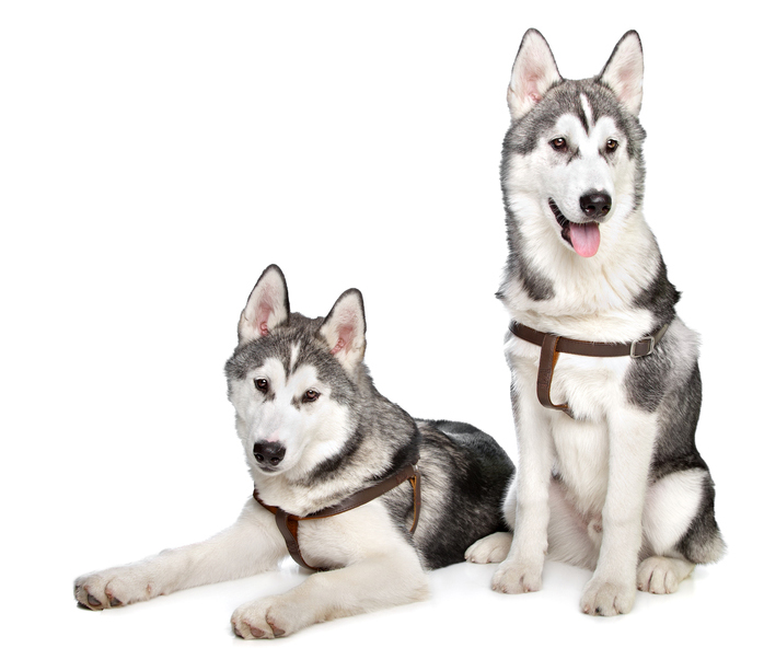 Best Dog Food For Huskies: Don't Give your Dog Underrated