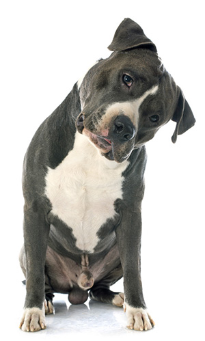 The Best Dog Food For Pitbull: Top Dog Foods For You To Try out