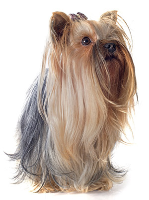 Best Dog Food For Yorkshire Terriers: Keeping Your Dog