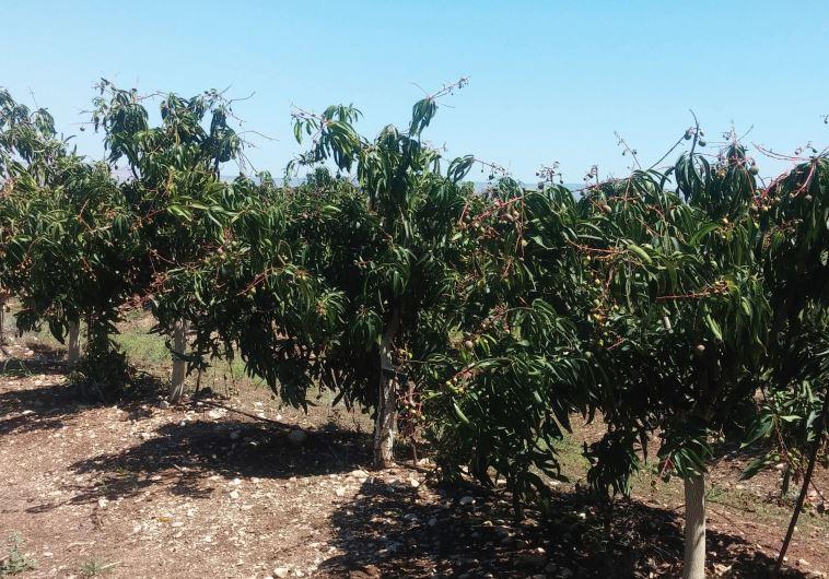 Israel mango