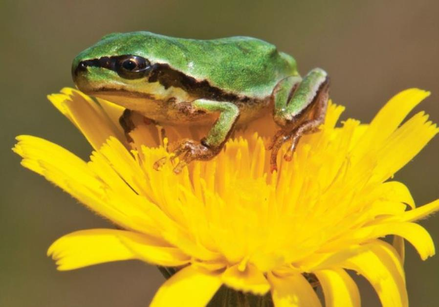 The Middle East tree frog