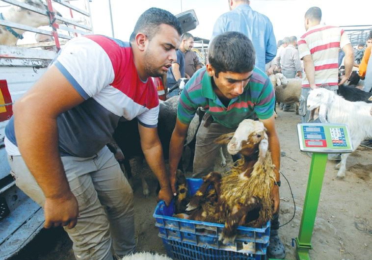 PALESTINIANS WEIGH a goat at a livestock market in Nablus last week, ahead of the Eid al-Adha festiv
