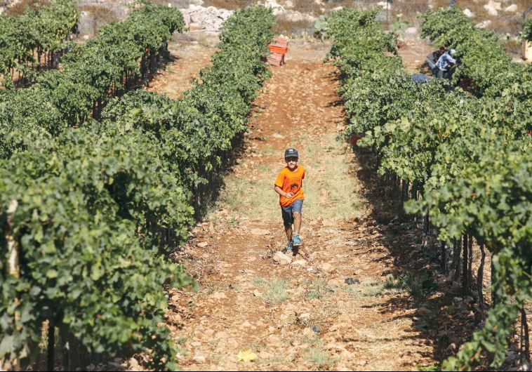 Grapevine in Israel
