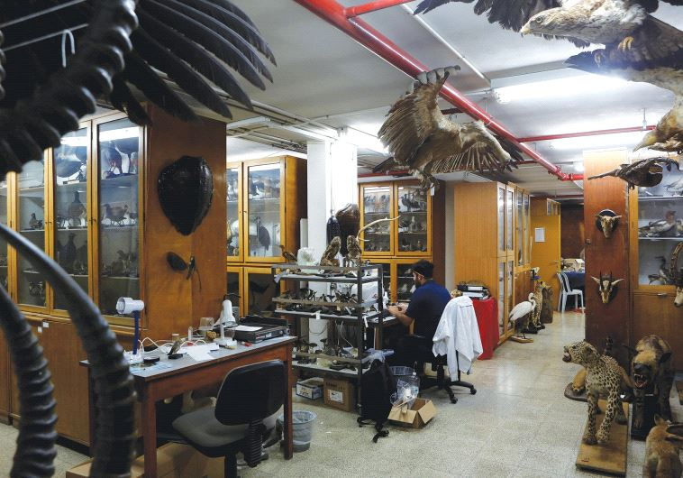 ASAF, A collection manager at the museum, works surrounded by taxidermied animals.
