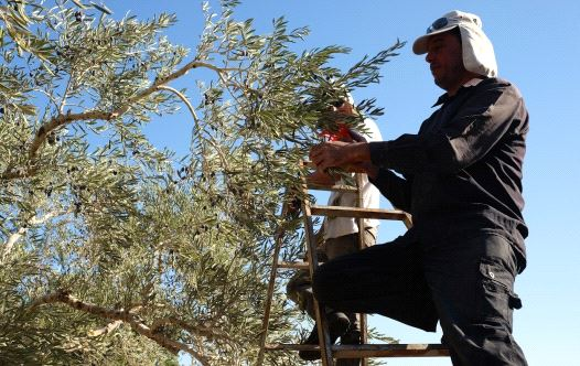 A member of the Ali family stands on a ladder to reach the olives in the uppermost echelons of a tre