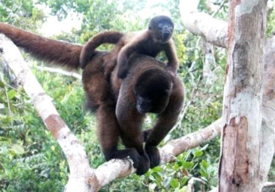 Israeli-led crowdfunding hopes to save Peruvian monkey