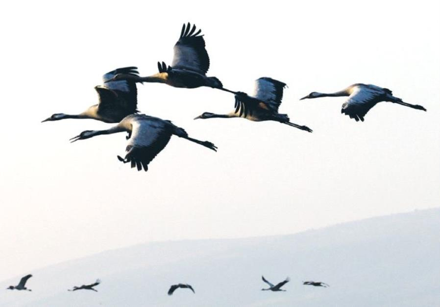 MIGRATING CRANES fly over northern Israel earlier this month