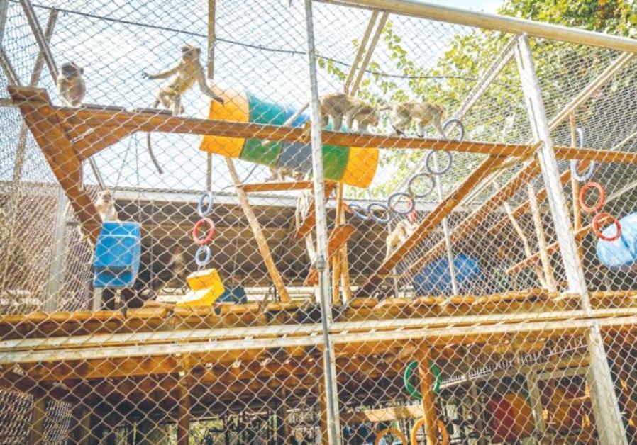 MACAQUE MONKEYS facing an uncertain future walk through their cage on the Mazor Farm near Petah Tikv