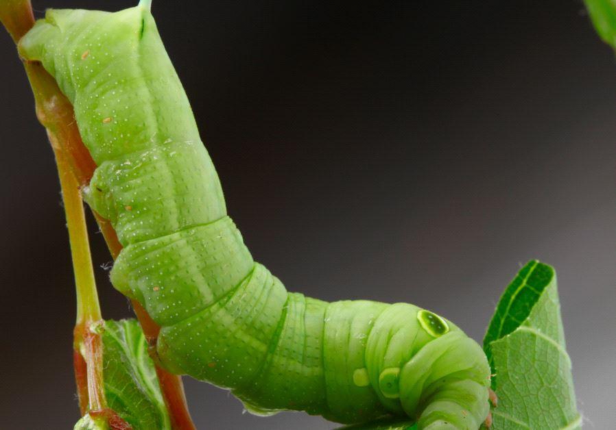 Caterpillar on a grape leaf