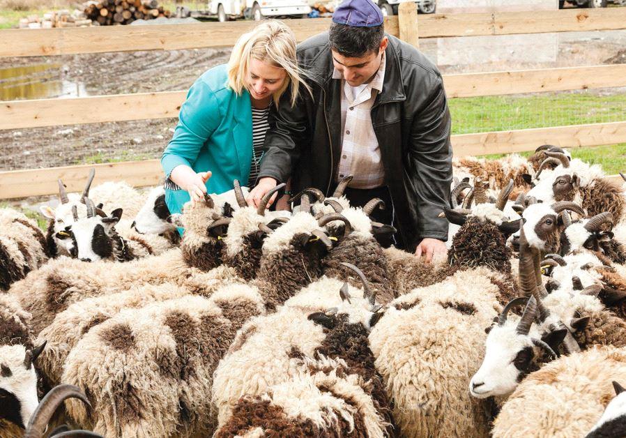 The Jacob sheep
