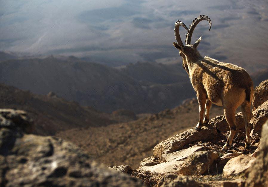 ibex ramon crater negev desert