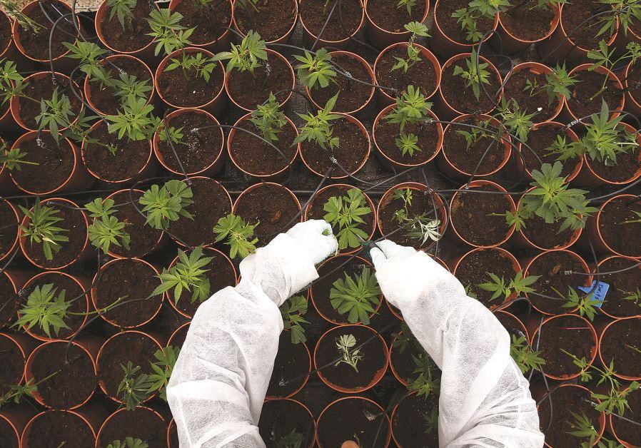 Culture de marijuana près de Safed