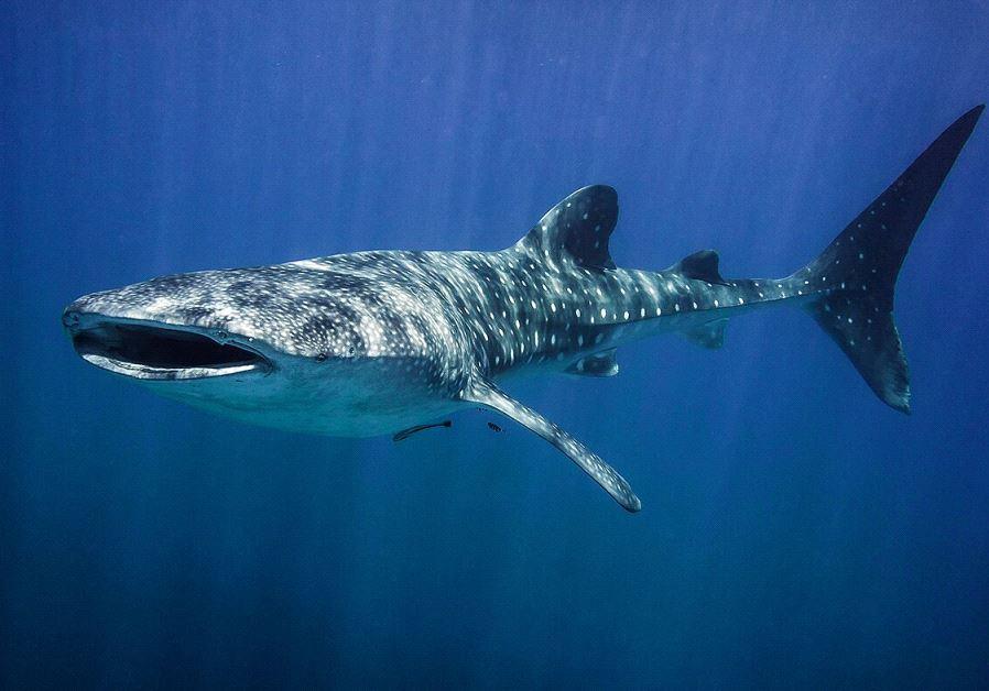 whale shark eilat