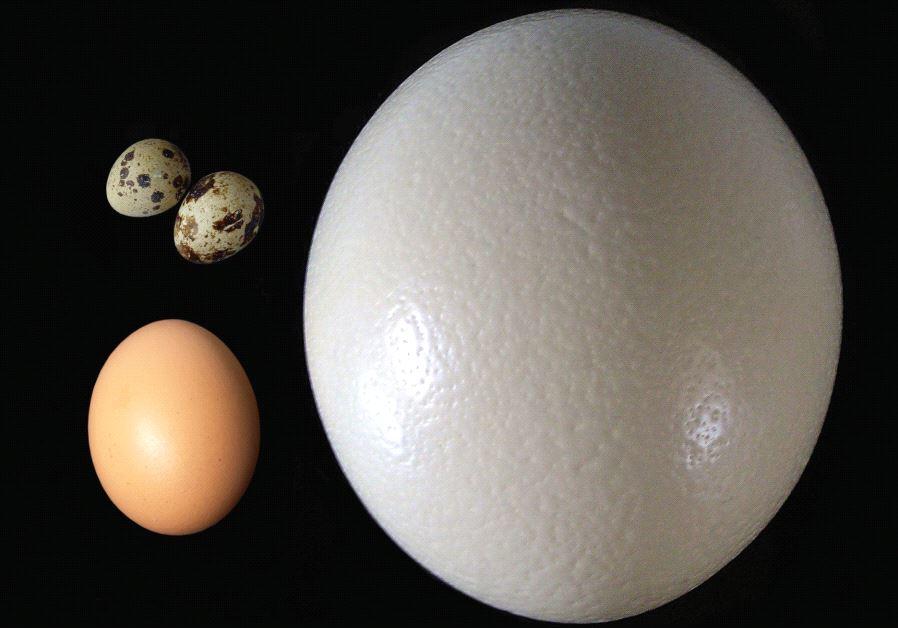 bird eggs avian shape