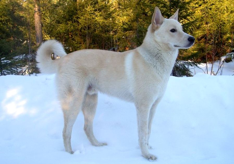 canaan dog israel breed