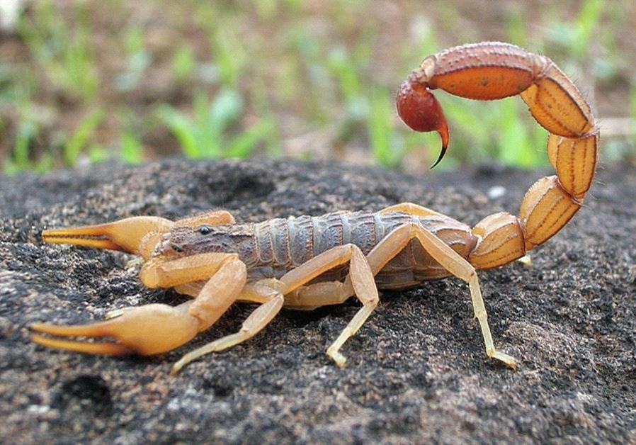 scorpion indian red tamulus