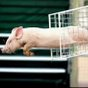 Timing critical in pig to mice insulin cell transplants